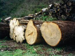 古典建築に適した木材の選定